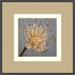 Autumn&#8217;s Clematis Seedhead